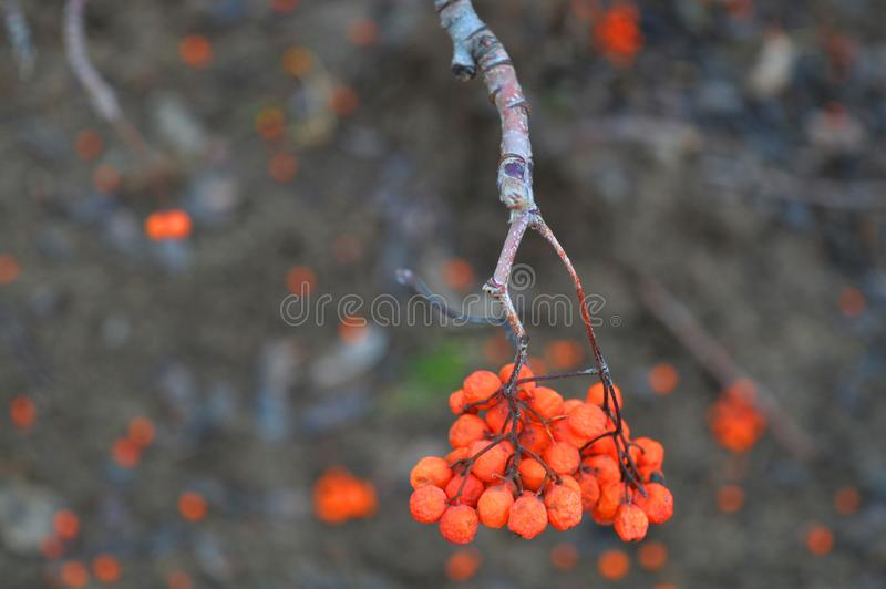 Tiny twig of the Rowan. The real beauty of nature. The twig of the Rowan. Orange berries in the city park. Interesting picture royalty free stock image