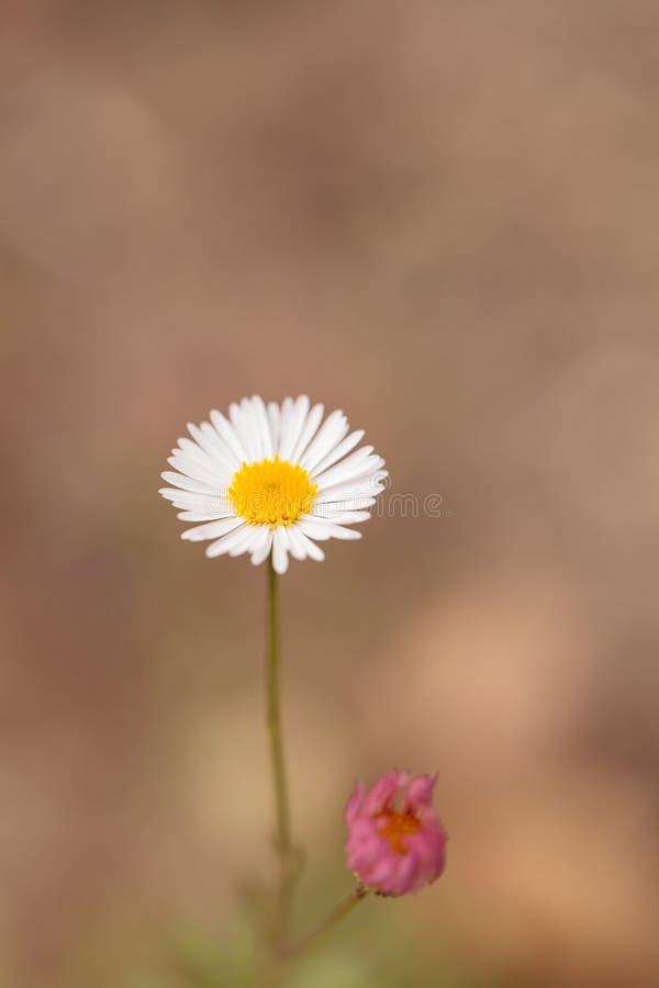 Tiny white daisy Prairie Fleabane Erigeron strigosus. Blooms on a bokeh green background in spring stock photo