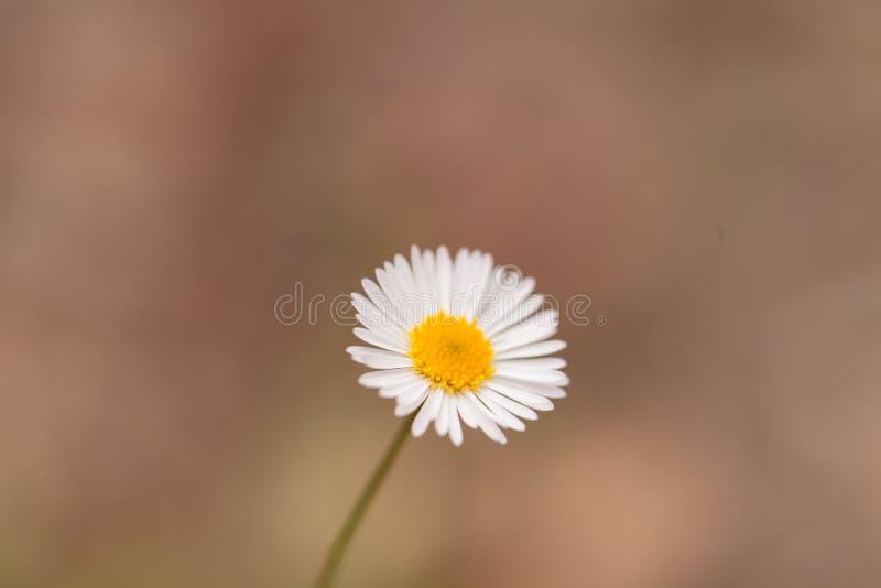 Tiny white daisy Prairie Fleabane Erigeron strigosus. Blooms on a bokeh green background in spring stock image