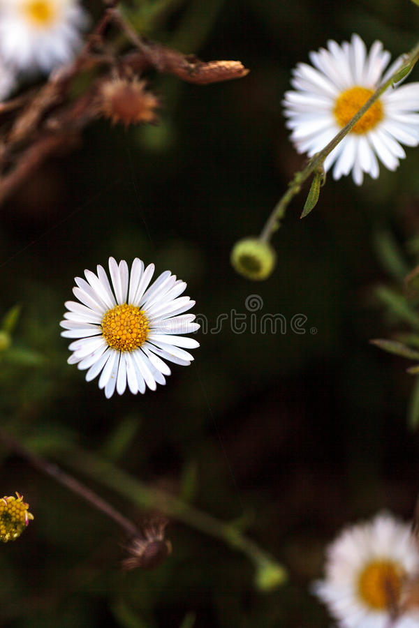 Tiny white fleabane daisy. Erigeron flower blooms on a green background in a garden in summer royalty free stock image