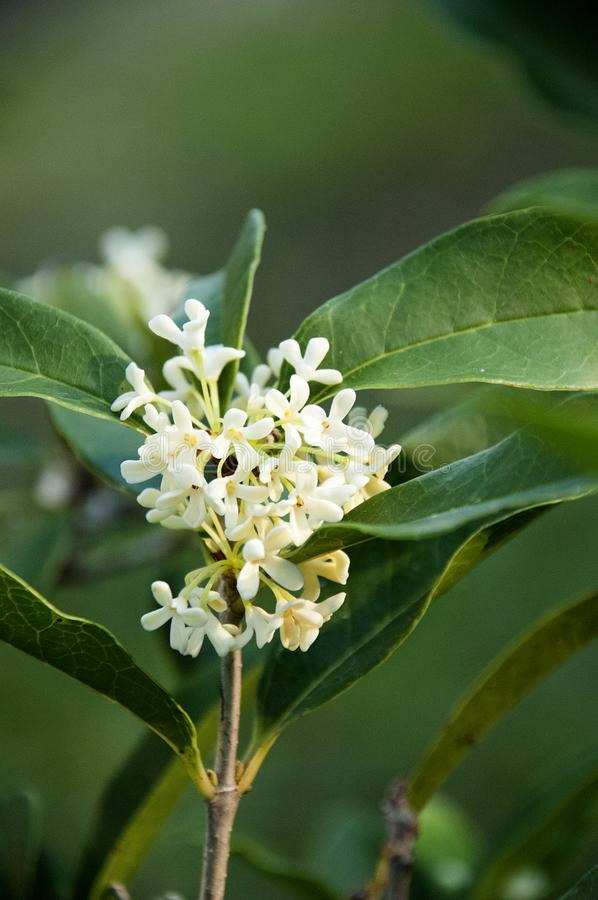 Tiny White Flowers of the Fragrant Tea Olive Shrub Closeup. Tiny White Flowers of the Fragrant Tea Olive Osmanthus fragrans Shrub Closeup Showing Clusters of stock images