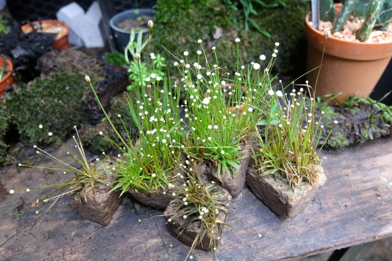Tiny white flowers on stone pots in the garden. stock image