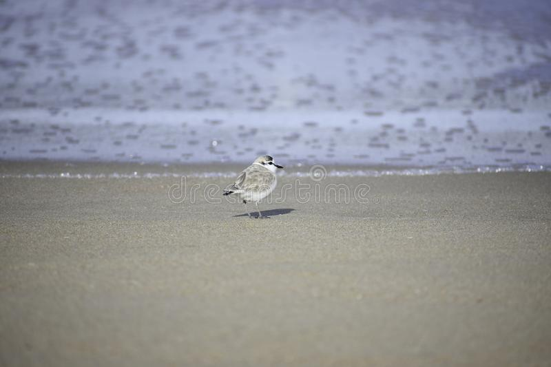 Tiny White-fronted Plover charadrius marginatus Bird On Beach. A tiny White-fronted plover charadrius marginatus bird standing on beach sand looking out to the stock photo