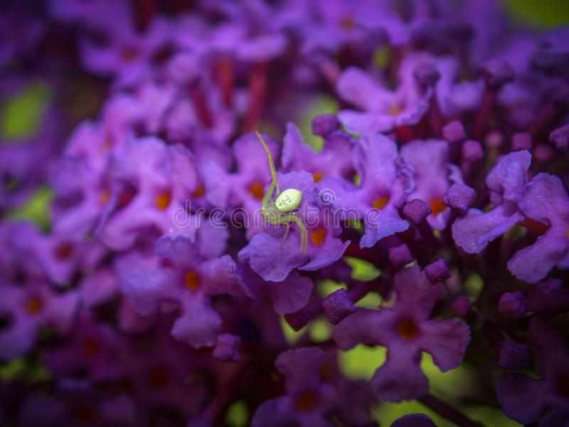 Tiny White Spider on Purple Butterfly Bush. A tiny white spider rests on the purple blooms of a Butterfly Bush in a summer garden stock images