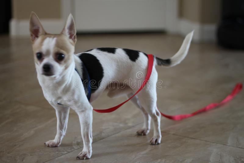 Teacup chihuahua white and black 0002. A tiny white teacup chihuahua with black spots royalty free stock image