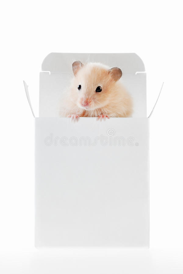 Tiny winy. A tiny hamster peeping out from a white paper box royalty free stock photo