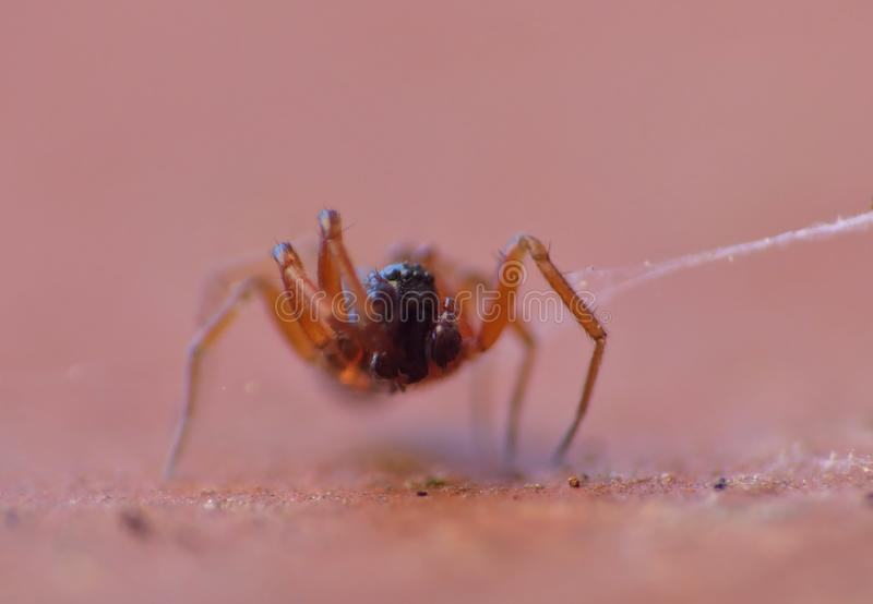 Tiny Woodlouse Spiders Macro Photography. Close up macro shot of a tiny black spider with orange legs photo taken in the United Kingdom stock photography