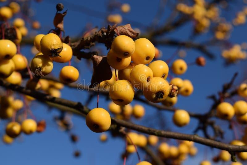 Tiny yellow apples stock photos