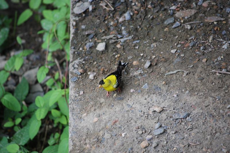 Tiny Yellow Bird sitting on Stone Ledge royalty free stock photo