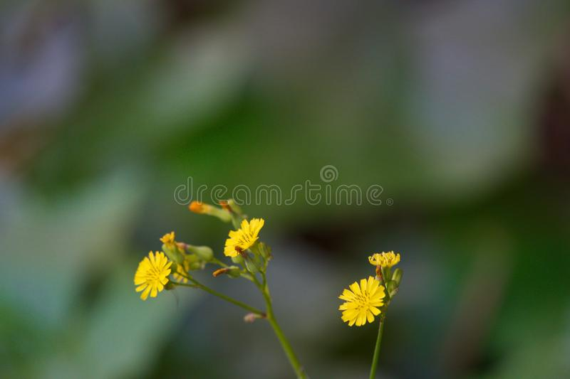 Tiny yellow flower flowers in the garden. Take photography in Chiang Rai, Thailand stock photography