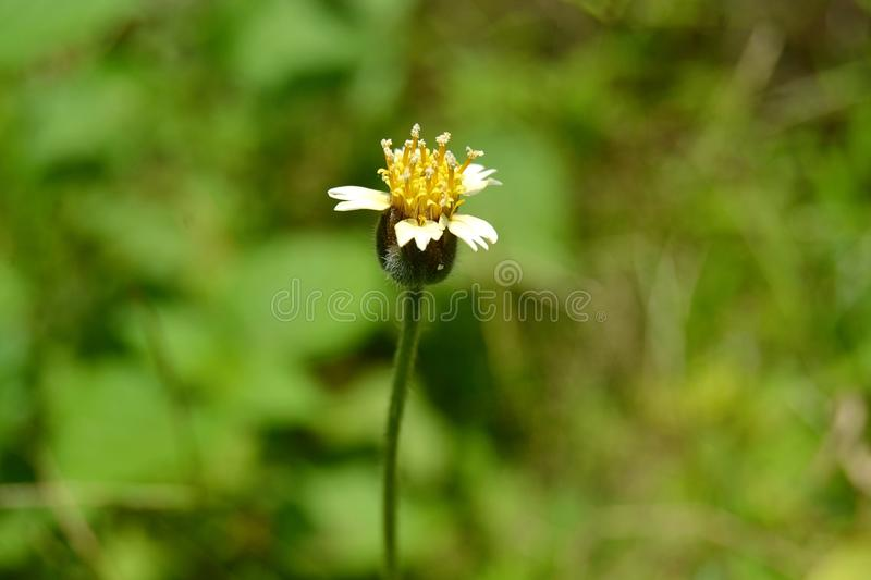 Tiny Yellow flower with white petals. A common little flower that can be seen growing among wild grass stock image