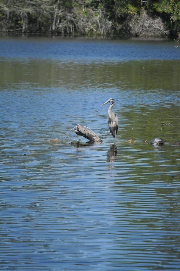 Great blue heron fishing. North Carolina great blue heron fishing at a pond. He is just waiting for the right fish royalty free stock photo