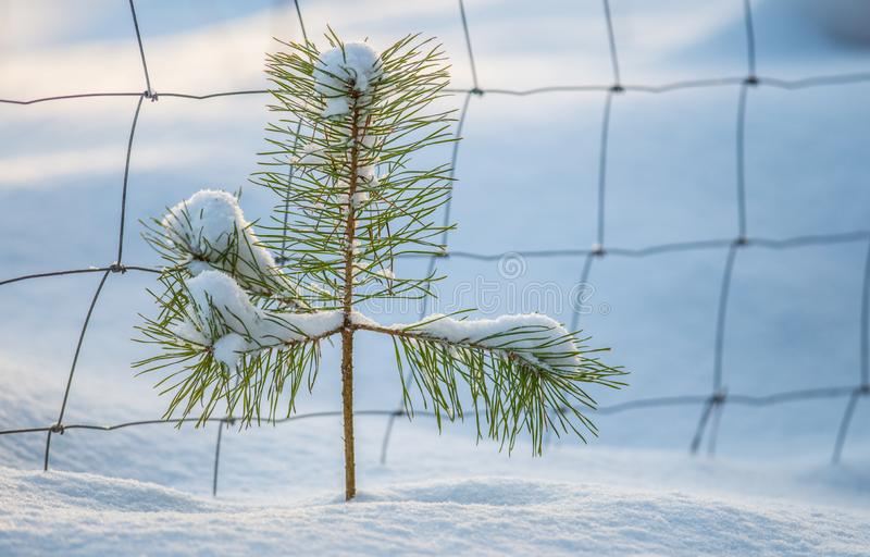 Tiny young one pine tree royalty free stock photography
