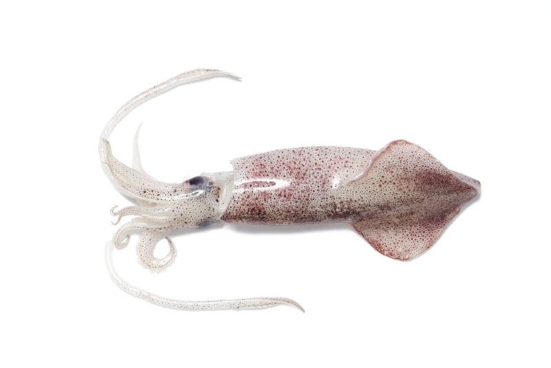 tioarmad bläckfisk royaltyfria foton