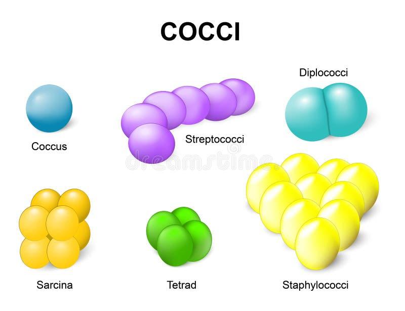Tipi di batteri cocchi illustrazione vettoriale