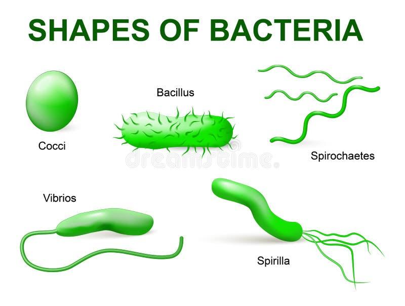 Tipi di batteri Morfologico di base illustrazione vettoriale