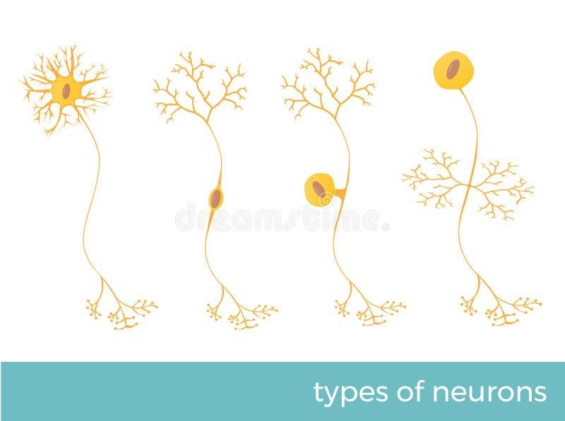Tipi di illustrazioni di vettore dei neuroni illustrazione vettoriale
