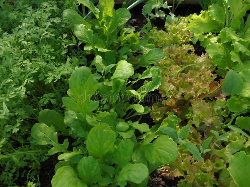 Tipi differenti di lattughe che crescono nella serra in primavera fotografia stock