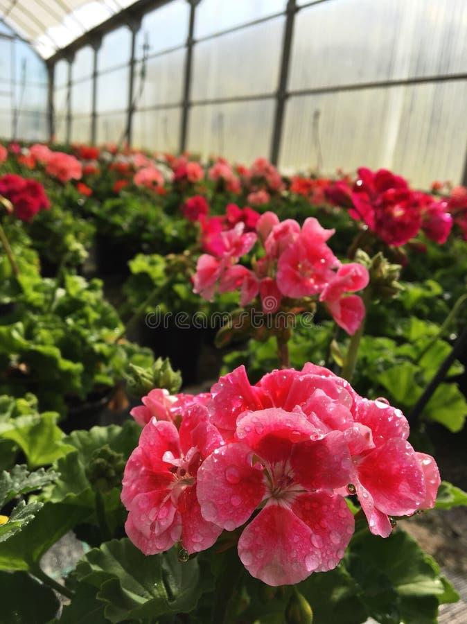 Geranium flowers royalty free stock images