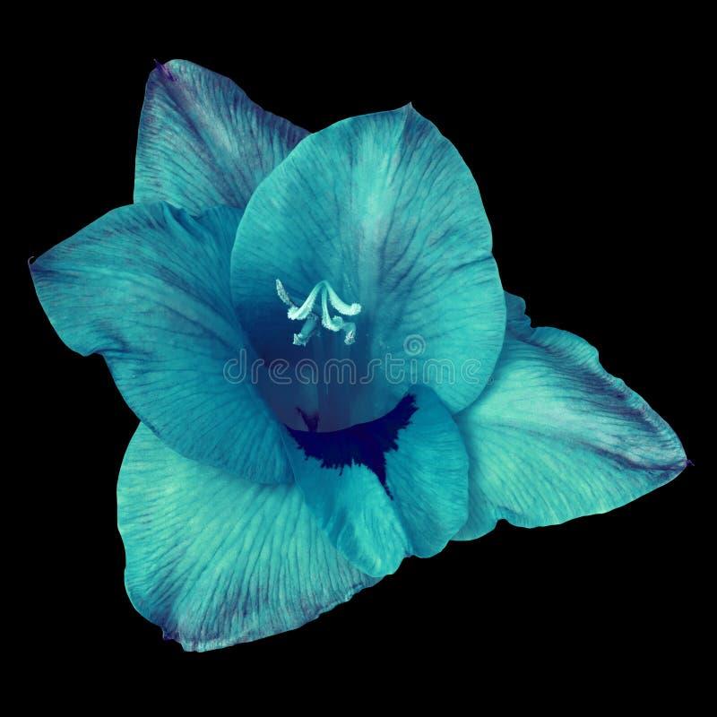 Tipo de flor azul cerulean da flor isolado no fundo preto Fim da flor em botão acima imagens de stock royalty free