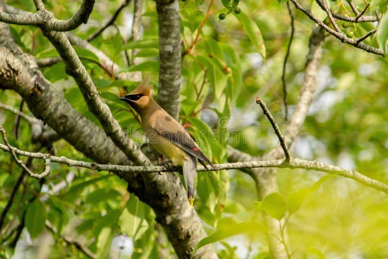 Tipo dell'usignolo di uccello su un ramo di un albero in una foresta fotografia stock