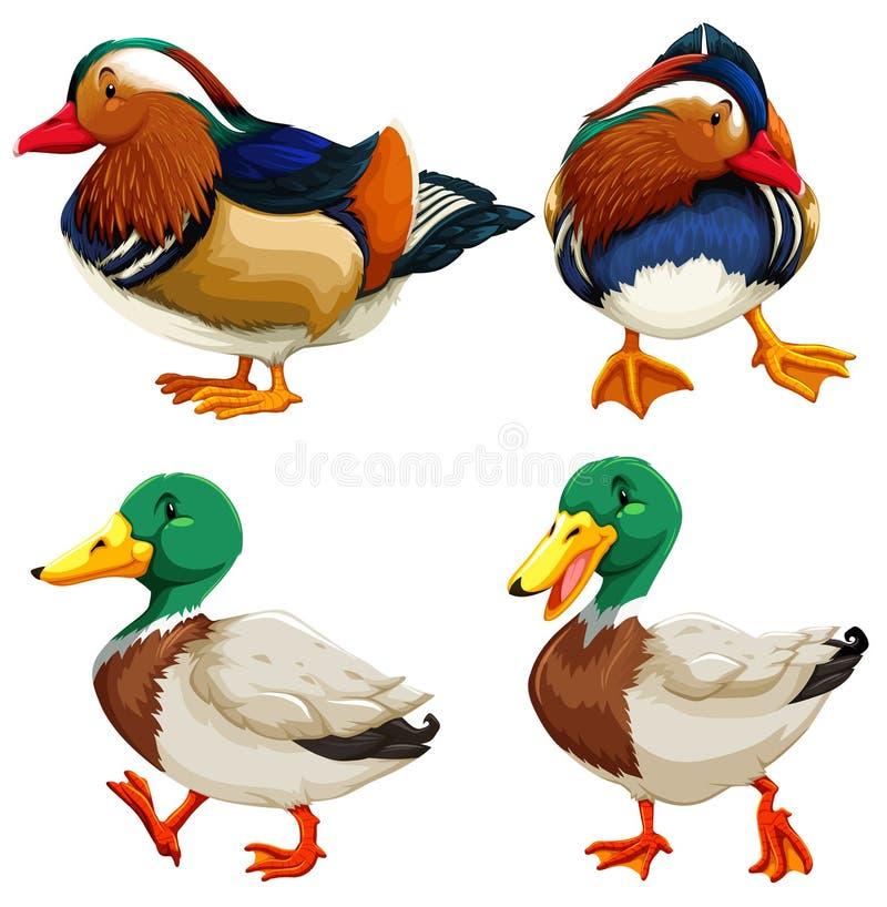 Tipo diferente dos patos ilustração royalty free