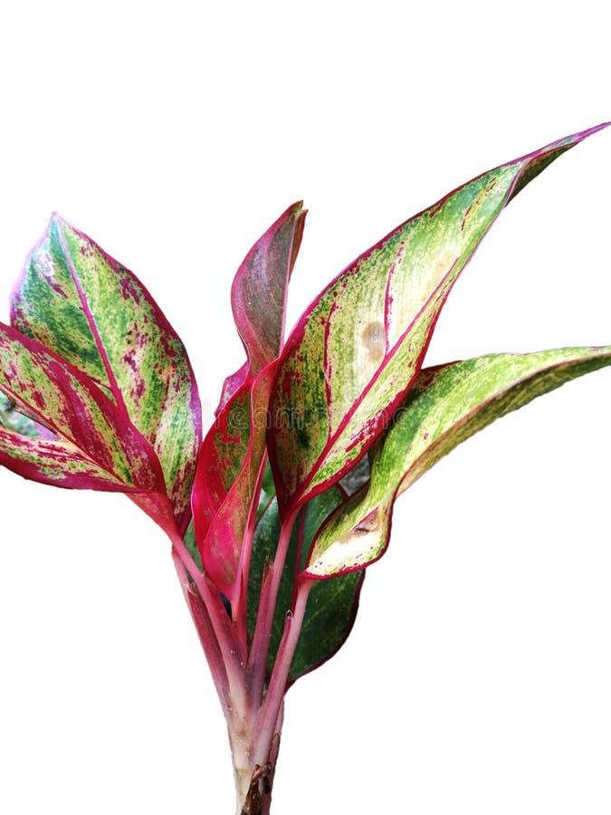 Tipo differente di pianta hawaiana del Ti immagine stock libera da diritti