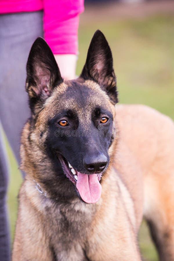Tipo malinois del perro de pastor de Bélgica imágenes de archivo libres de regalías