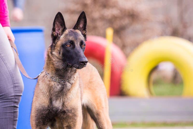 Tipo malinois del perro de pastor de Bélgica fotografía de archivo