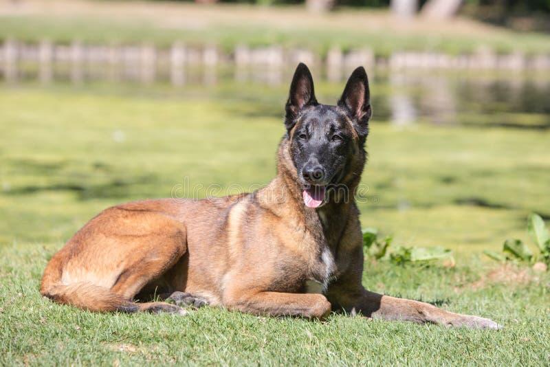 Tipo malinois del perro de pastor de Bélgica fotos de archivo