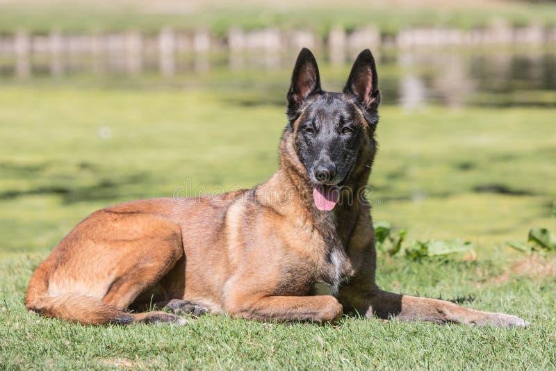 Tipo malinois del perro de pastor de Bélgica fotos de archivo libres de regalías