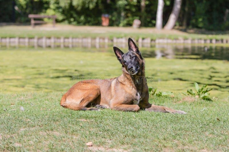 Tipo malinois del perro de pastor de Bélgica imagen de archivo