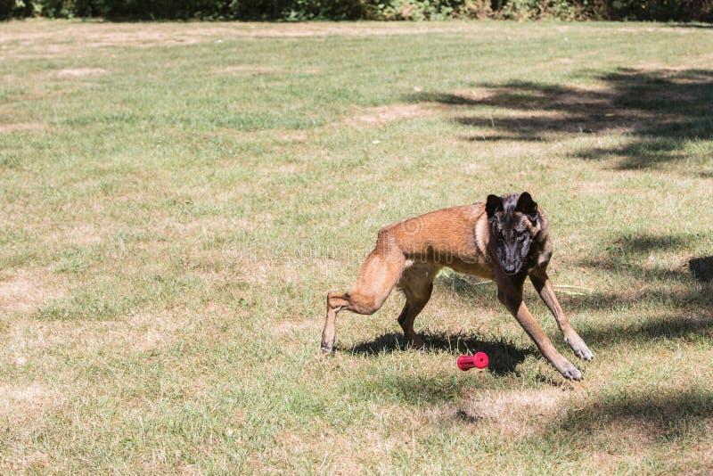 Tipo malinois del perro de pastor de Bélgica imagenes de archivo
