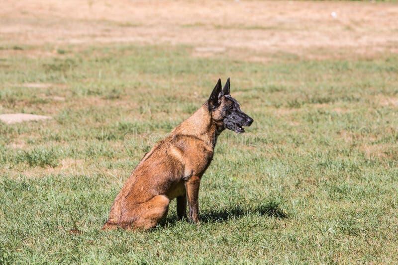 Tipo malinois del perro de pastor de Bélgica fotografía de archivo libre de regalías