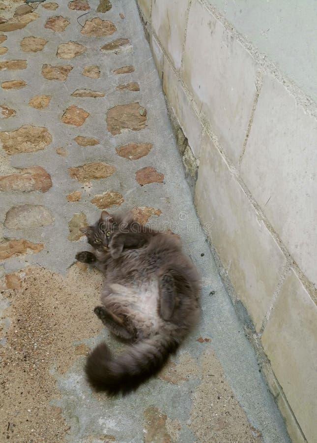 Tipo persa balanceo del gato gris mullido grande en el suyo detrás imagen de archivo