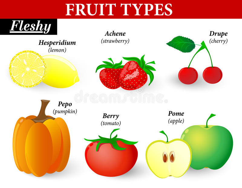 Tipos carnudos do fruto ilustração do vetor