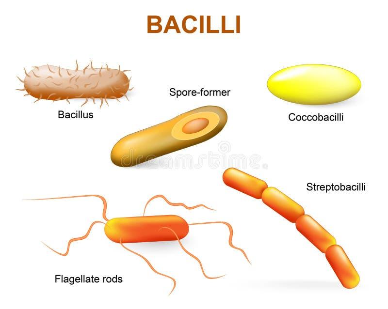 Tipos de bactérias bacilos ilustração do vetor