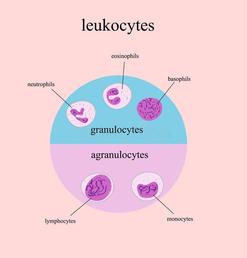 Tipos De Glóbulos Blancos, Leucocitos Imagen de archivo - Imagen de ...