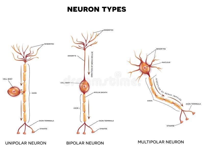 Tipos de la neurona ilustración del vector