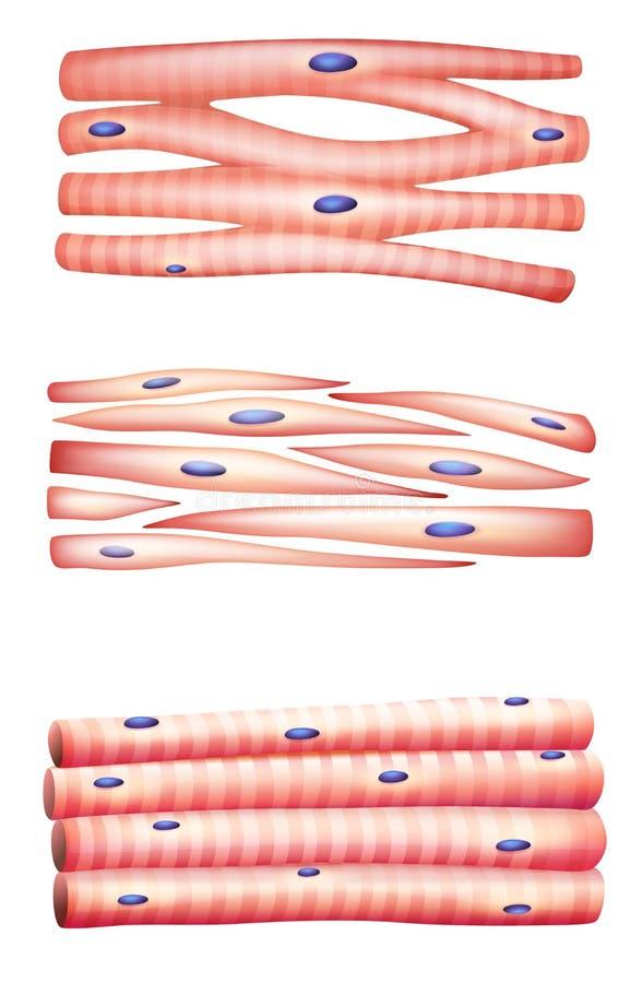 Tipos de músculos stock de ilustración