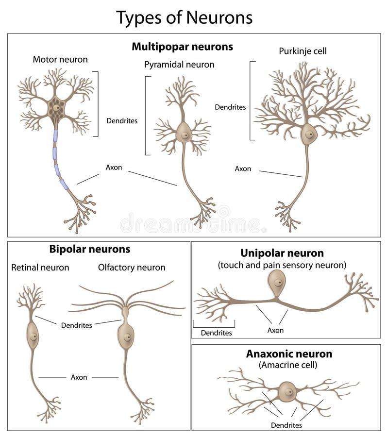 Tipos de neurônios ilustração royalty free
