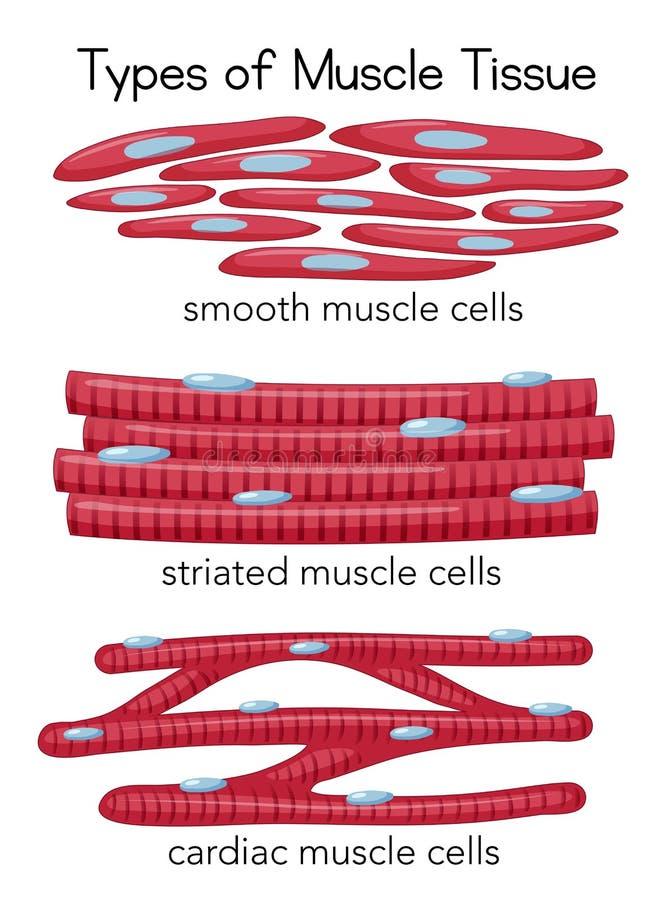 Tipos de tecido do músculo ilustração royalty free