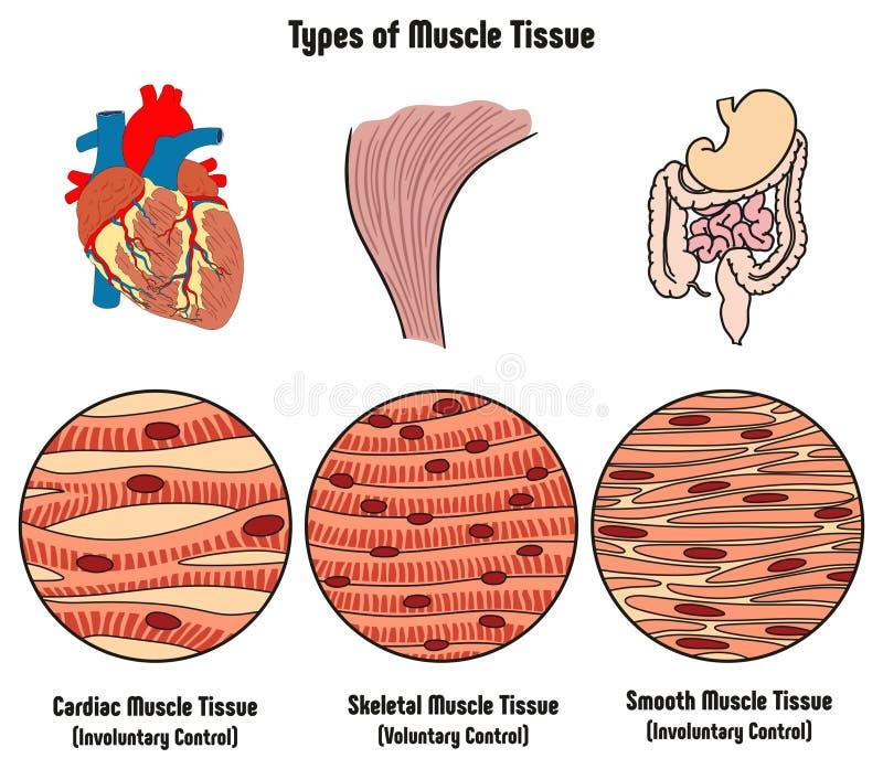 Tipos de tecido do músculo do diagrama do corpo humano ilustração stock