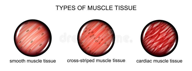 Tipos de tejido del músculo ilustración del vector