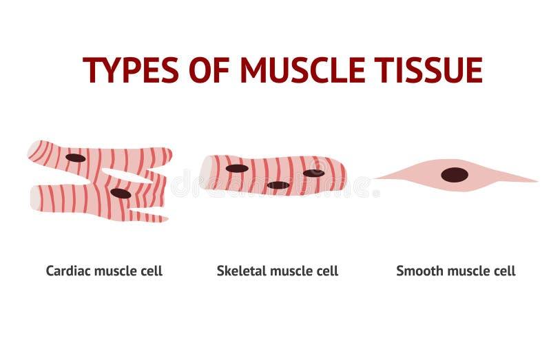 Tipos de tejido del músculo, anatomía, ejemplo del vector en el fondo blanco libre illustration