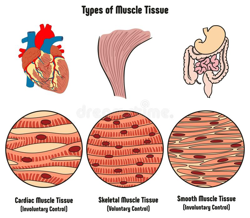 Tipos de tejido del músculo del diagrama del cuerpo humano stock de ilustración