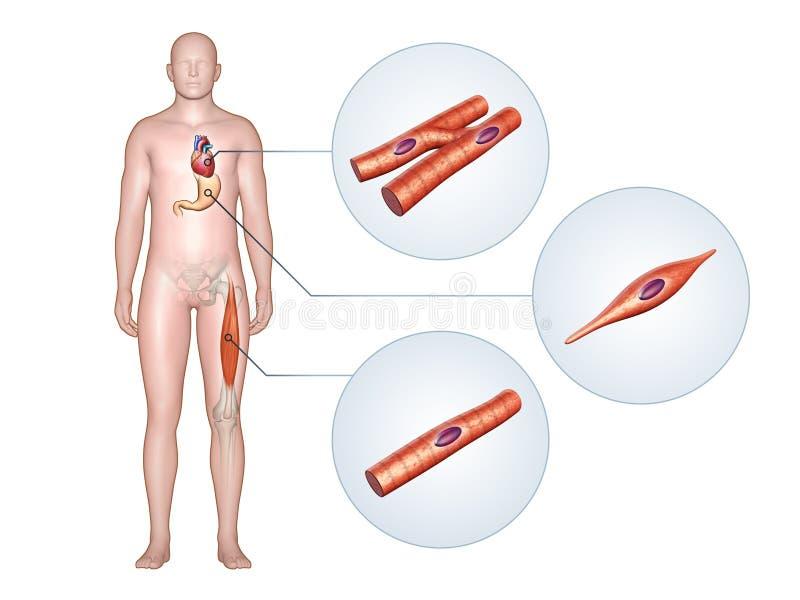 Tipos del músculo stock de ilustración