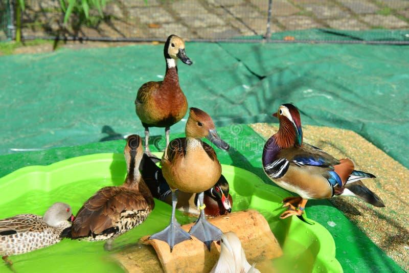 Tipos diferentes dos patos no terreiro fotografia de stock royalty free