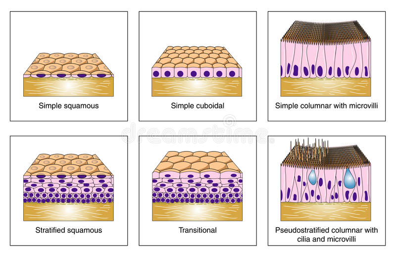 Tipos epiteliales ilustración del vector