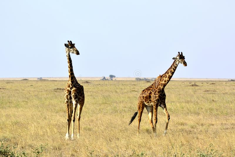 Tippelskirchii för två camelopardalis för MasaigiraffGiraffa arkivfoton